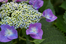 毎日はっぴぃ気分☆-蒼紫陽花