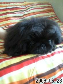 ペキニーズ専門犬舎 TETSU BOCCURI JP、ペットハウス ミルミル-090623_1515~0001.jpg