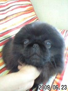 ペキニーズ専門犬舎 TETSU BOCCURI JP、ペットハウス ミルミル-090623_1513~0001.jpg