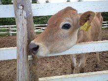 エマ美容室の[チョキ×チョキ日記]-牛、かわいい。