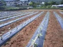 静岡県 伊豆の国市商工会-これがオクラの畑です!