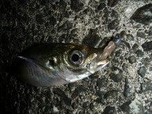 Fishing Blog OFFSHORE CRAZY! ~ 夢は一発大物!   鮪だ!鰤だ!大政だ!巨カンパだ!大鯛だ!なんでもこ~い!-あじ