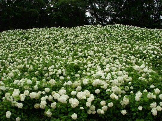 キヨミのガーデニングブログ-アナベルの画像