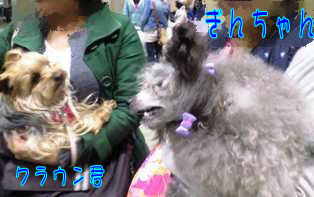 ★ろくたんブログ★ ヨーキーとチワワとよきぇ-2009-4-4