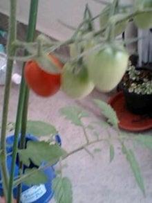 とろとろひとりごと-トマト