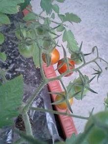 とろとろひとりごと-トマト2