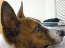 バセンジー犬☆しんばのブログ