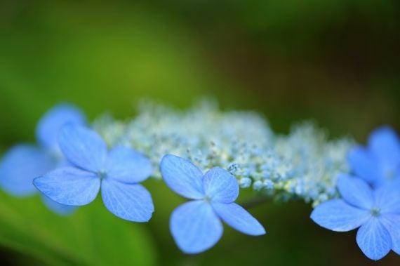 北海道の野生動植物写真-紫陽花
