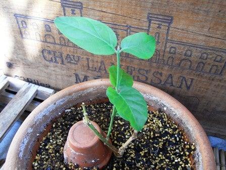 cinnamon log-jasmine