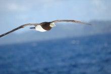 小笠原父島エコツアー情報    エコツーリズムの島        小笠原の旅情報と父島の自然-カツオドリ