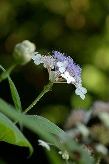 毎日はっぴぃ気分☆-山紫陽花
