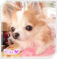 チワワのRim-Rim