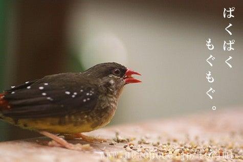 ようこそ!とりみカフェ!!~鳥の写真や鳥カフェでの出来事~-ベニスズメ君のお食事風景