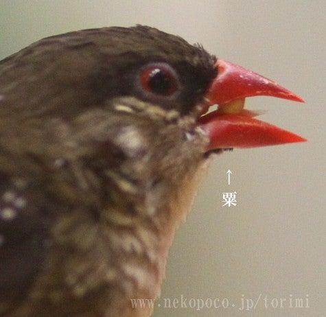 ようこそ!とりみカフェ!!~鳥の写真や鳥カフェでの出来事~-身体が小さいので、粟玉が大きく見えます