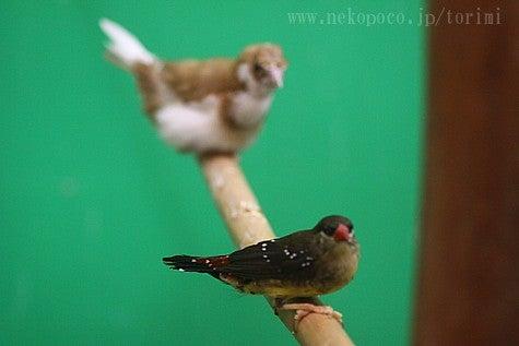 ようこそ!とりみカフェ!!~鳥の写真や鳥カフェでの出来事~-ベニスズメと十姉妹
