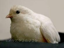 絵日記ブログ・姫うずらまみれ-090909白ちゃん4歳
