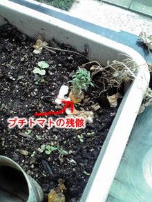 上賀茂からこんにちは。-びっくりトマト