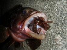 Fishing Blog OFFSHORE CRAZY! ~ 夢は一発大物!   鮪だ!鰤だ!大政だ!巨カンパだ!大鯛だ!なんでもこ~い!-スカルピン丸呑み