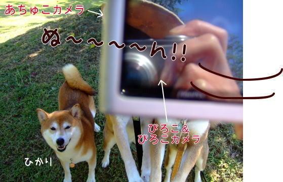 柴犬ひかりといちご のんびり日記