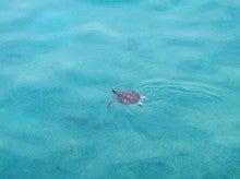 小笠原父島エコツアー情報    エコツーリズムの島        小笠原の旅情報と父島の自然-カメ