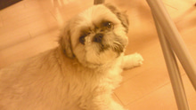 飼育放棄犬シーズー春香が教えてくれた、幸せな気持ちになる方法-200909191810000.jpg