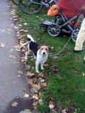 怒れる小さな茶色い犬-090925g