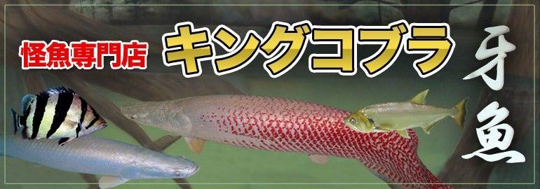 牙魚専門店キングコブラのブログ-牙魚専門店キングコブラbig