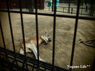 Nagano Life**-カンガルー・おやすみ