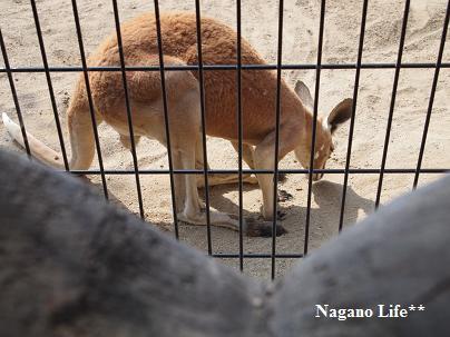 Nagano Life**-カンガルー・チェック