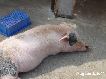 Nagano Life**-ぶた