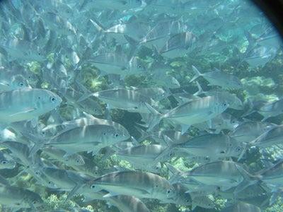 【たんぽぽの惑星】-silver fishes