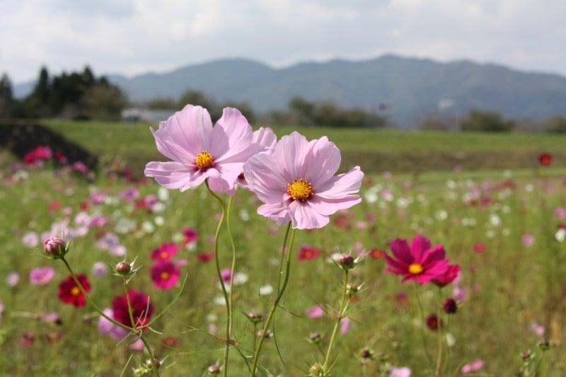 数楽者のボヤキ・ツブヤキ・ササヤキ-中学 数学 道徳 Mathematics Puzzles--新潟県関川村荒川沿い コスモスパークにて