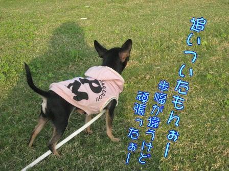 ★ろくたんブログ★ ヨーキーとチワワとよきぇ-10-6