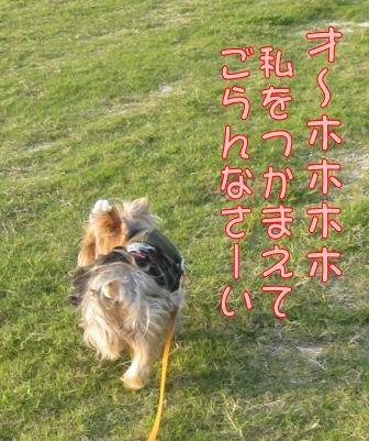 ★ろくたんブログ★ ヨーキーとチワワとよきぇ-2009-10-6