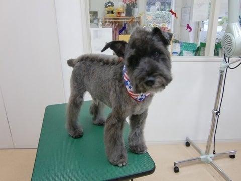 犬の美容室ゆうちゃんのブログ|愛知県豊明市-オレオちゃん完成