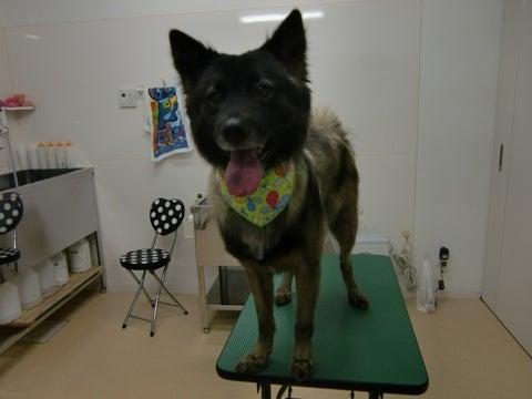 犬の美容室ゆうちゃんのブログ|愛知県豊明市-くまちゃん