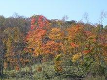 ほべつの森のこばなし帳-オオモミジ紅葉1