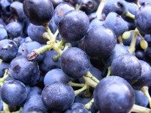 吉祥寺 ワイン&レストラン ボナペティのブログ-摘み取ったシラー種