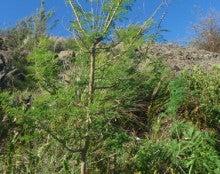 小笠原父島エコツアー情報    エコツーリズムの島        小笠原の旅情報と父島の自然-ギンネム