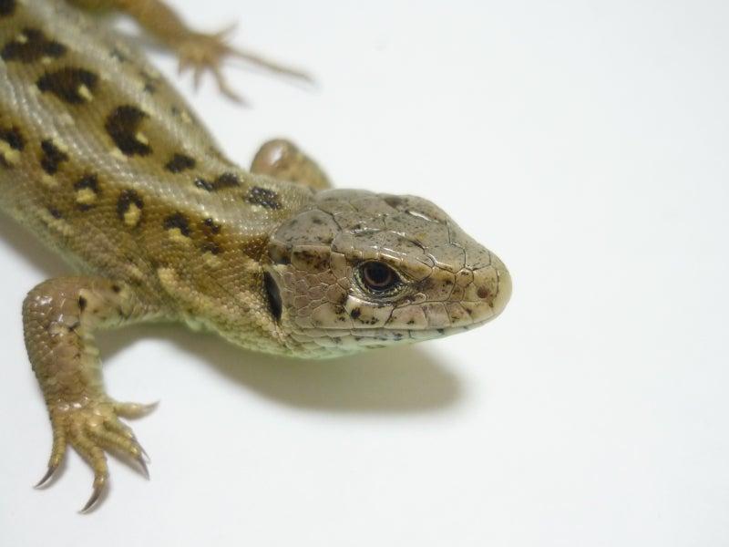 Lacerta Room Blog-アーガスニワカナヘビ♀