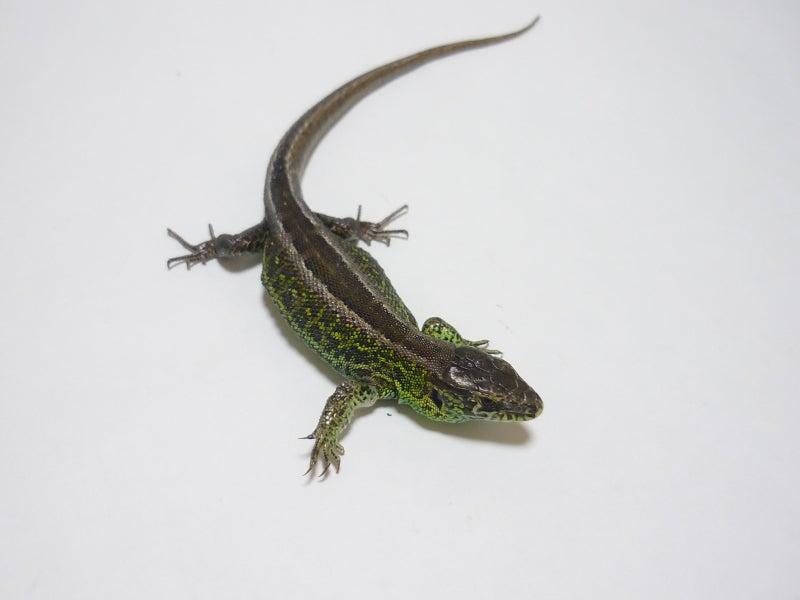 Lacerta Room Blog-アーガスニワカナヘビ♂