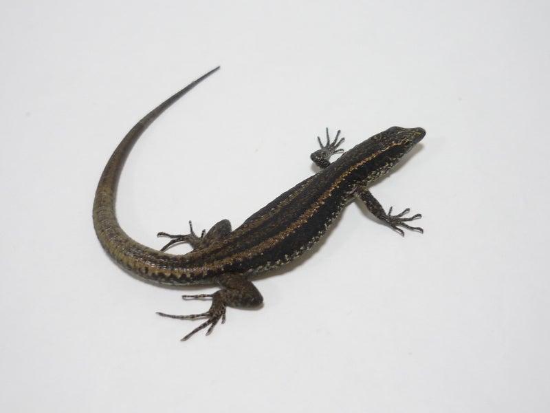 Lacerta Room Blog-マデイラカベカナヘビ♀