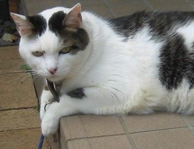 せつこマ~マのウチのネコどもブログ-くつろぐチーちゃん