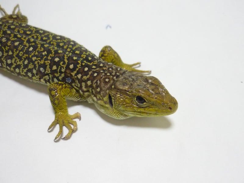 Lacerta Room Blog-イベリアホウセキカナヘビ♀