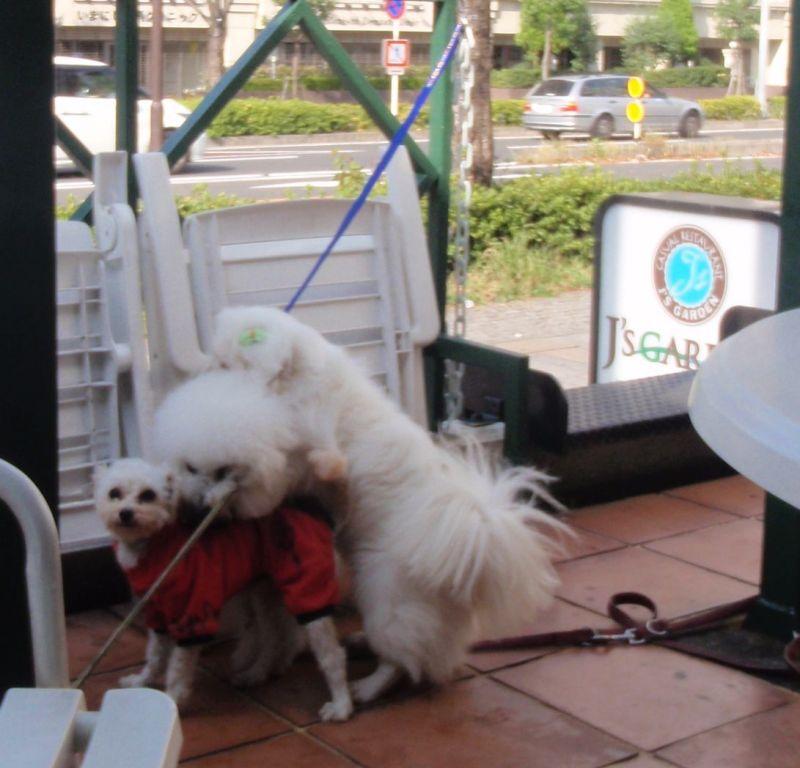 $アフロ犬だいずがゆく!今日もカフェ日和