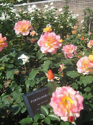 お気楽なワタシの日常-バラ園3