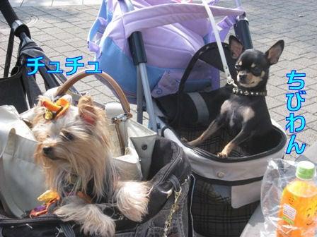 ★ろくたんブログ★ ~ヨーキー+チワワ~