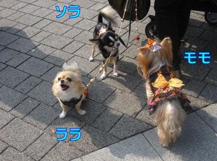 ★ろくたんブログ★ ~ヨーキー+チワワ~-11-3