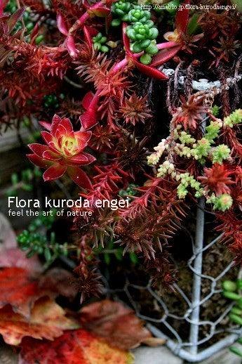 フローラのガーデニング・園芸作業日記-多肉ちゃんの紅葉