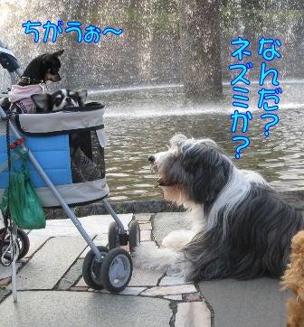 ★ろくたんブログ★ ~ヨーキー+チワワ~-10-31